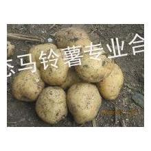二两以上土豆菜豆种子