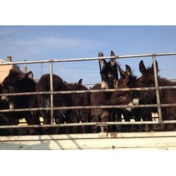 石家庄肉驴品种驴/架子驴/驴苗子