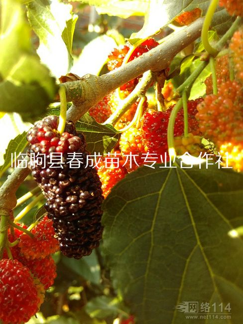 供应高产果桑品种
