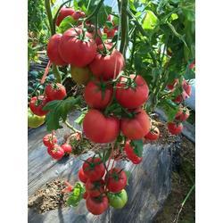 西亚德--抗病毒西红柿种子早熟品种