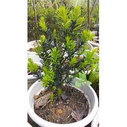 曼地亚红豆杉,曼地亚红豆杉盆景出售
