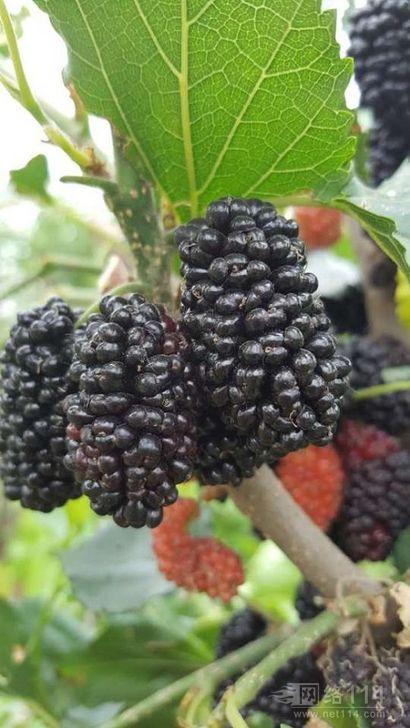 提供果桑苗新品种