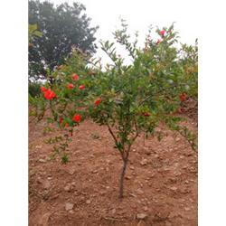 盆栽石榴树供应,石榴盆景批发